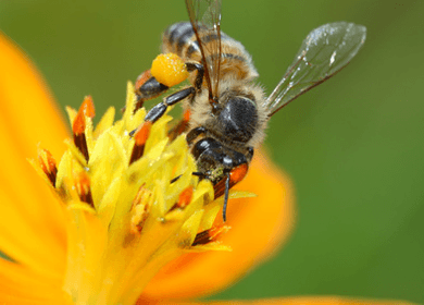 Pollinating Powers of Bees Are the Foundation of Our Food Chain, and We Are Killing Them
