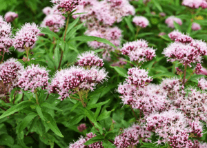 Valerian Root: Nature's Anxiety Reliever