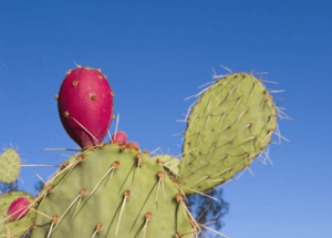Weird Cactus Fruit Runs Toxins Out of the Body