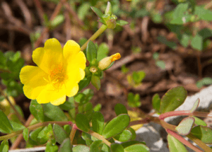 Purslane: Frustrating Weed or Melatonin Powerhouse?