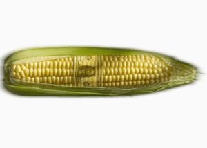 GMO Corn Linked to Golf-ball Sized Tumors