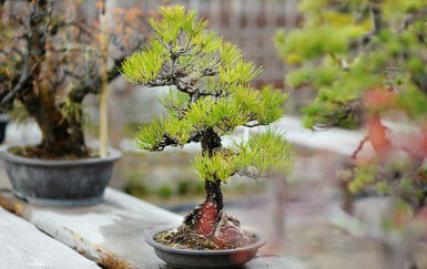 Why Bonsai Trees are Good for Your Health
