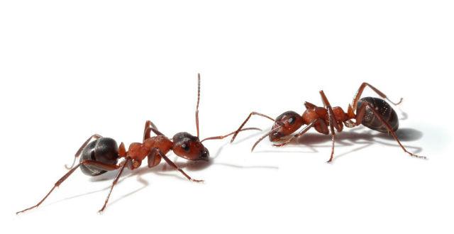 Two ants meet