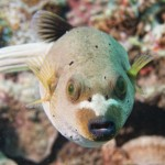 colorful ball puffer fish on the reef background