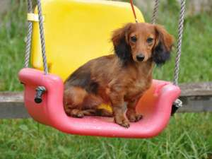 Dachshund dog swing