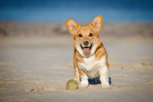 welsh corgi pembroke puppy on a beach