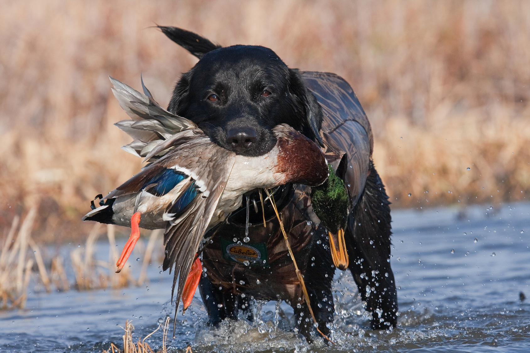 Best Dog For Pheasant And Duck Hunting