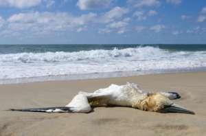 dead bird on a beach - atlantic west coast of france