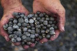 Hands Holding Fresh Acai Berries