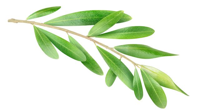 This Leaf Extract has 400 Times More Antioxidant Power Than