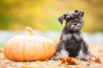 Miniature schnauzer puppy with a pumpkin in autumn