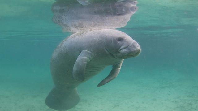 Florida Manatee Underwater