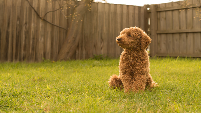 a toy poodle in backyard