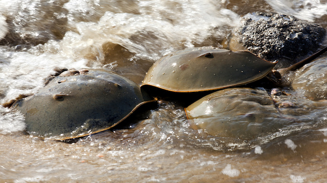 Horseshoe Crab (Limulus polyphemus) on New Jersey beaches along the Delaware Bay during spawing season