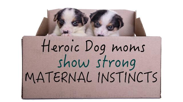 puppies mestizo in box