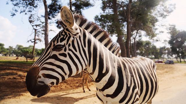 Zebra in Safari in Tel-Aviv