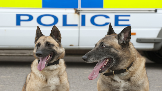 Portrait of two police dogs