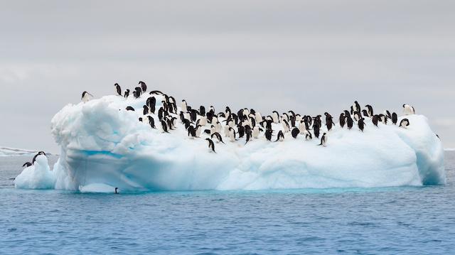 Adult adele penguins grouped on iceberg
