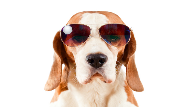 sentry dog in sunglasses  on white