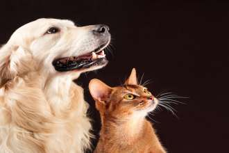 Cat and dog, abyssinian kitten , golden retriever looks at right