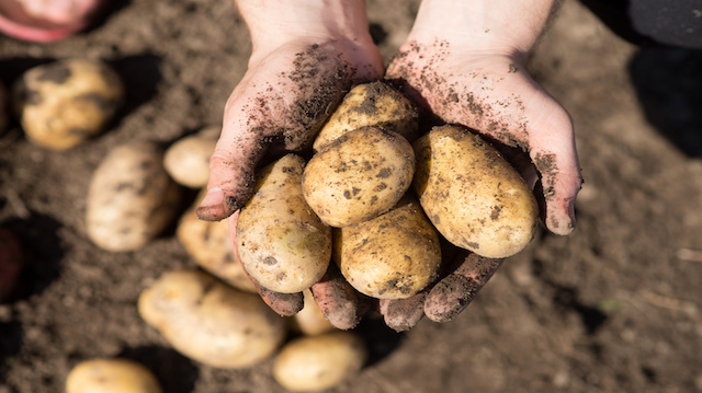 Harvest. Potato in hands, arms on ground background