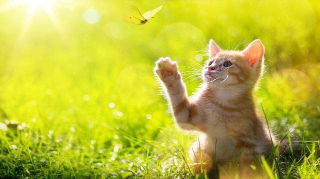 art Young cat / kitten hunting a ladybug with Back Lit