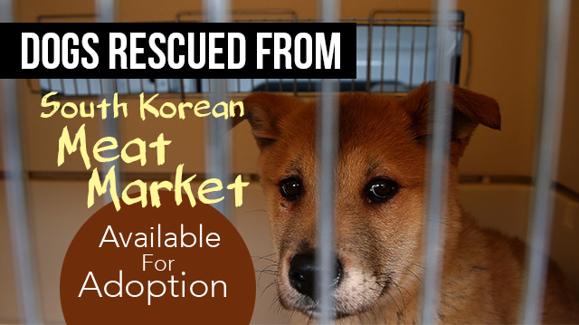 Dogs Rescued From South Korean Meat Market Available For Adoption