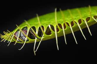 venus flytrap - dionaea muscipula with a trapped fly