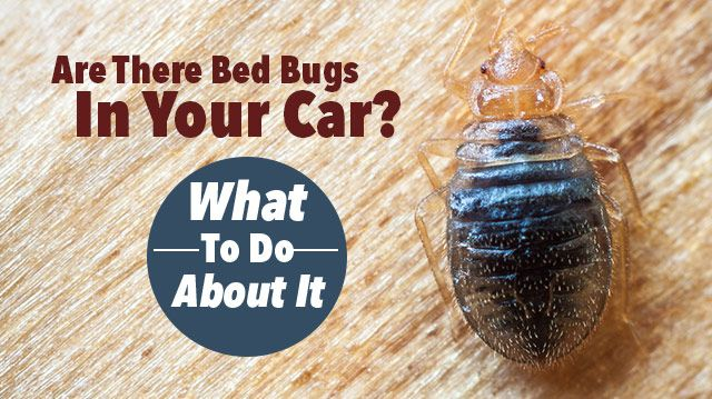 Are There Bed Bugs In Your Car What To Do About It