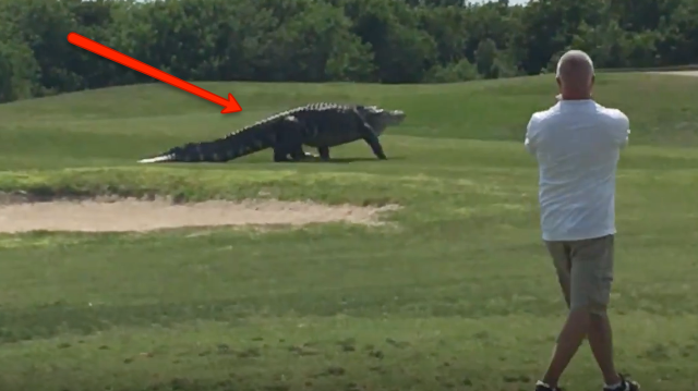 Massive Gator On Fl Golf Course Fake Or Real We Polled Our Staff