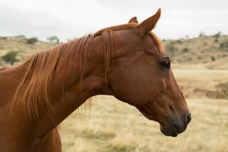 A photograph of a retired race horse on an Australian farm in central western NSW.