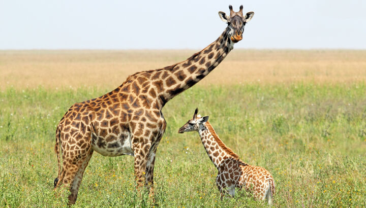 baby-giraffe-with-mother