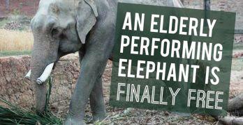 elderly-elephant-freed