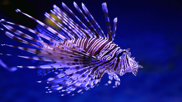 Pterois volitans. Fish floats against blue sea water