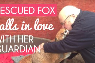 rescued-fox-loves-her-guardian