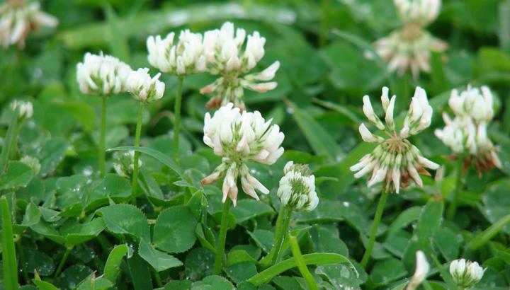 clovers