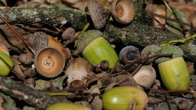 Become the ultimate forager try these 8 wild edible plants - What you can do with acorns a bit of health and embellishment ...