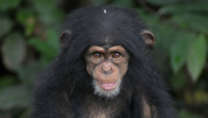 "Photo courtesy ""Save The Abandoned Chimps"""