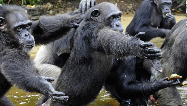 "Photo courtesy ""Save The Abandoned Chimps"""