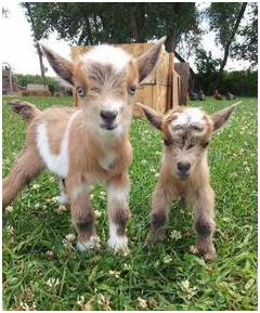 goats-stare-to-bond-with-humans