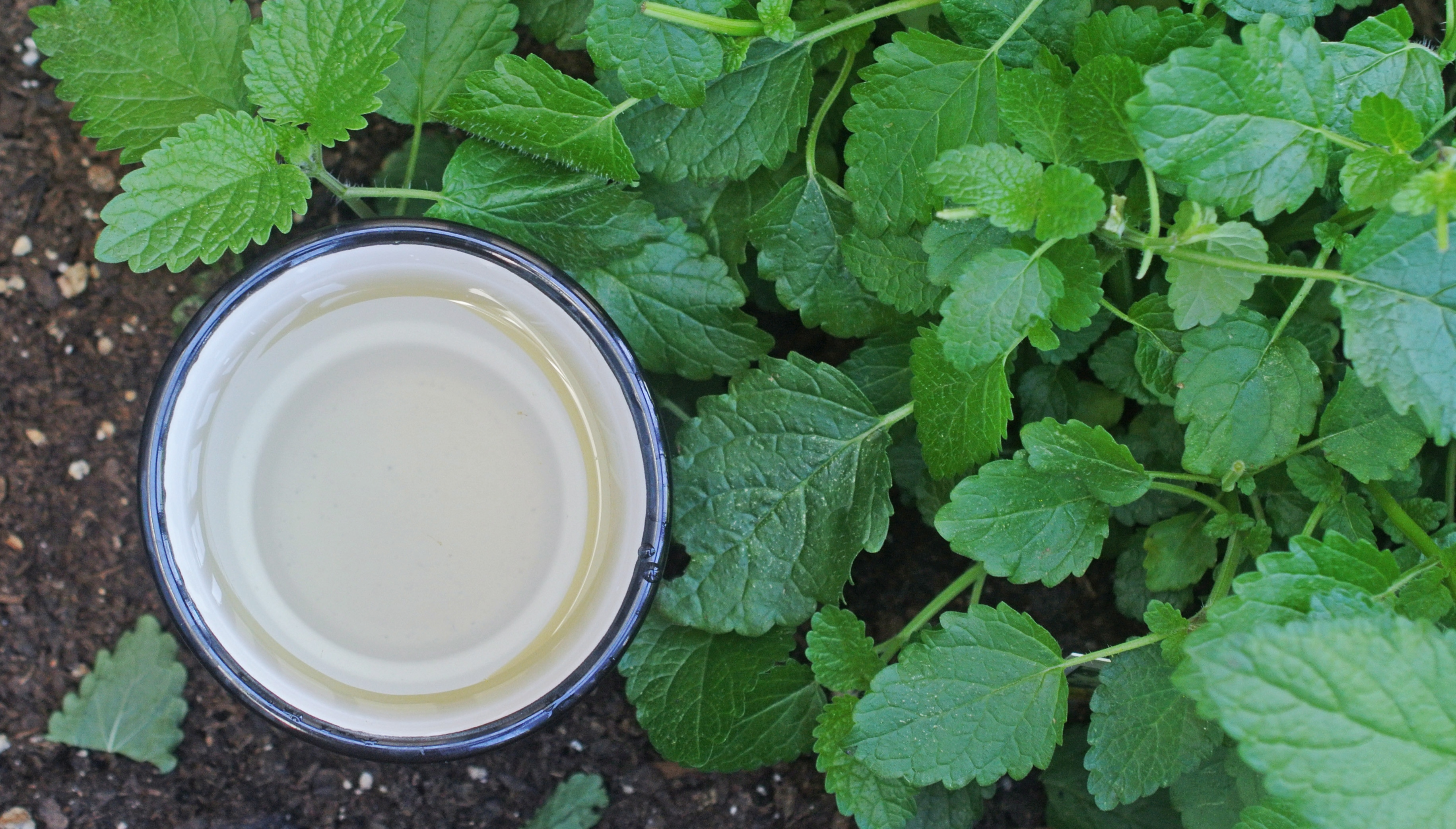 lemon-balm-plants