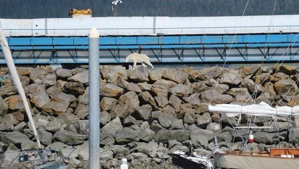 mountain-goat-drowns