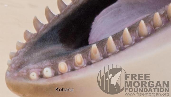 orca-teeth-1