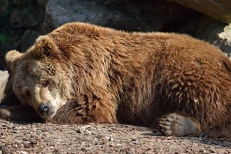 hibernating-bear