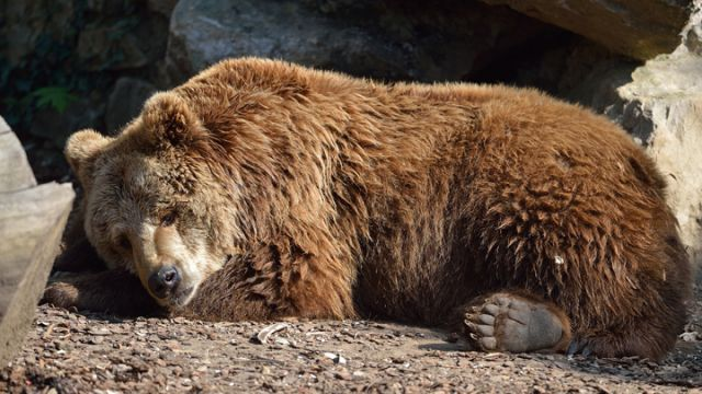 Image result for bear hibernating
