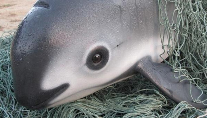 vaquita-caught-in-net-greenpeace