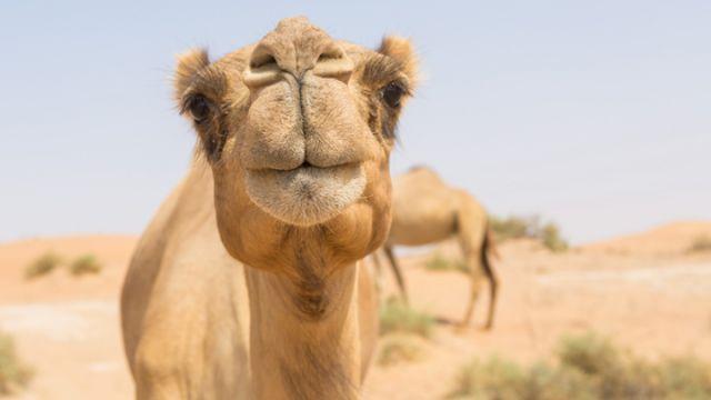Image result for camel