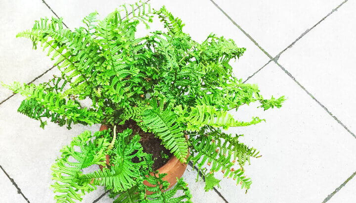 castor-oil-for-ferns