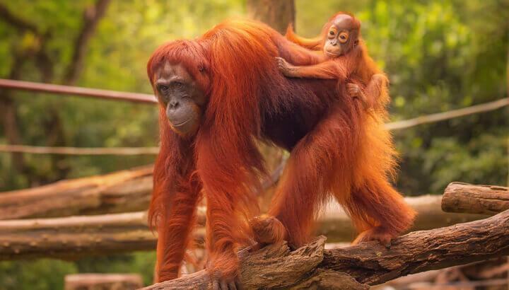 orangutan-and-baby