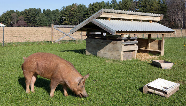 Lard from Pigs